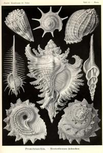 Ernst Haeckel, Kunstformen der Natur (1899-1904), plaat 53.