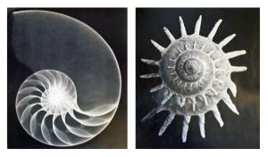 (Röntgen)foto's uit themanummer over schelpen, Wendingen 5 (1923) 8/9.